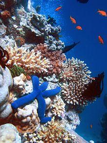 220px-Blue_Linckia_Starfish.jpg